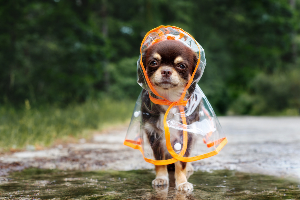 chihuaha puppy in the rain