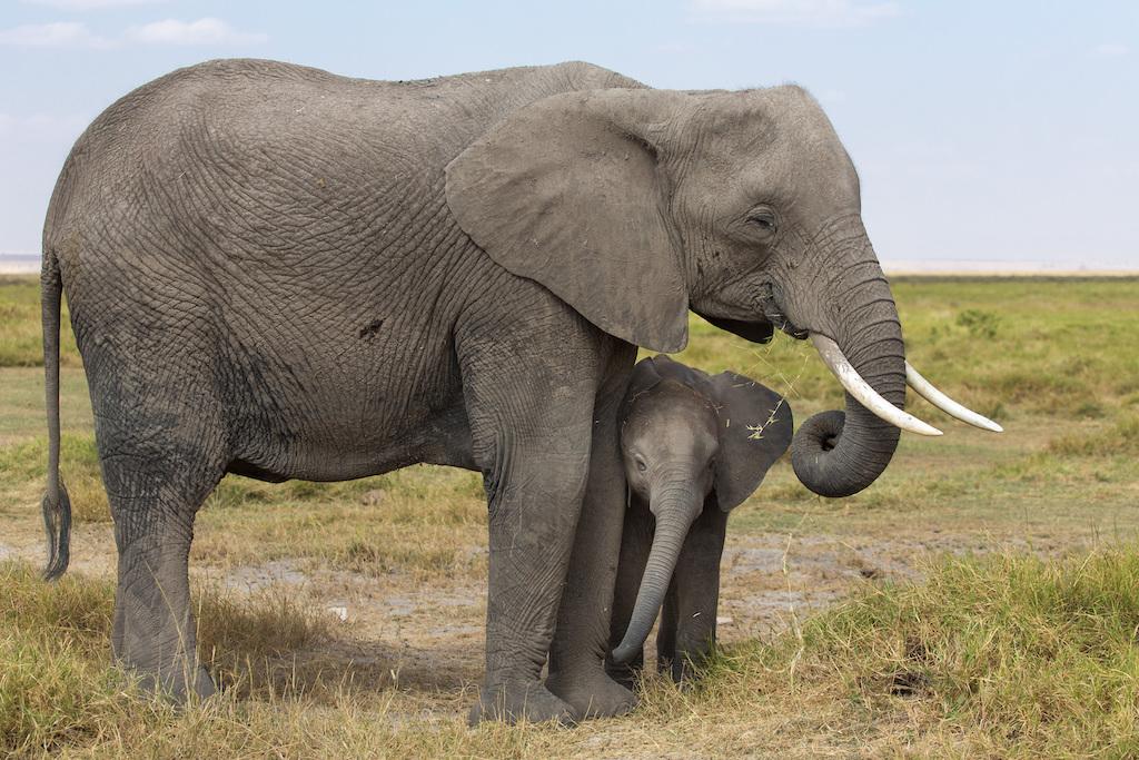 elephant-sleeping