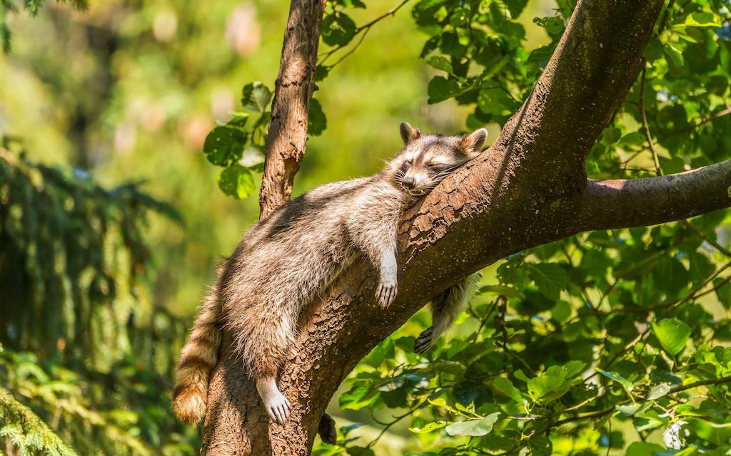 raccoon nap