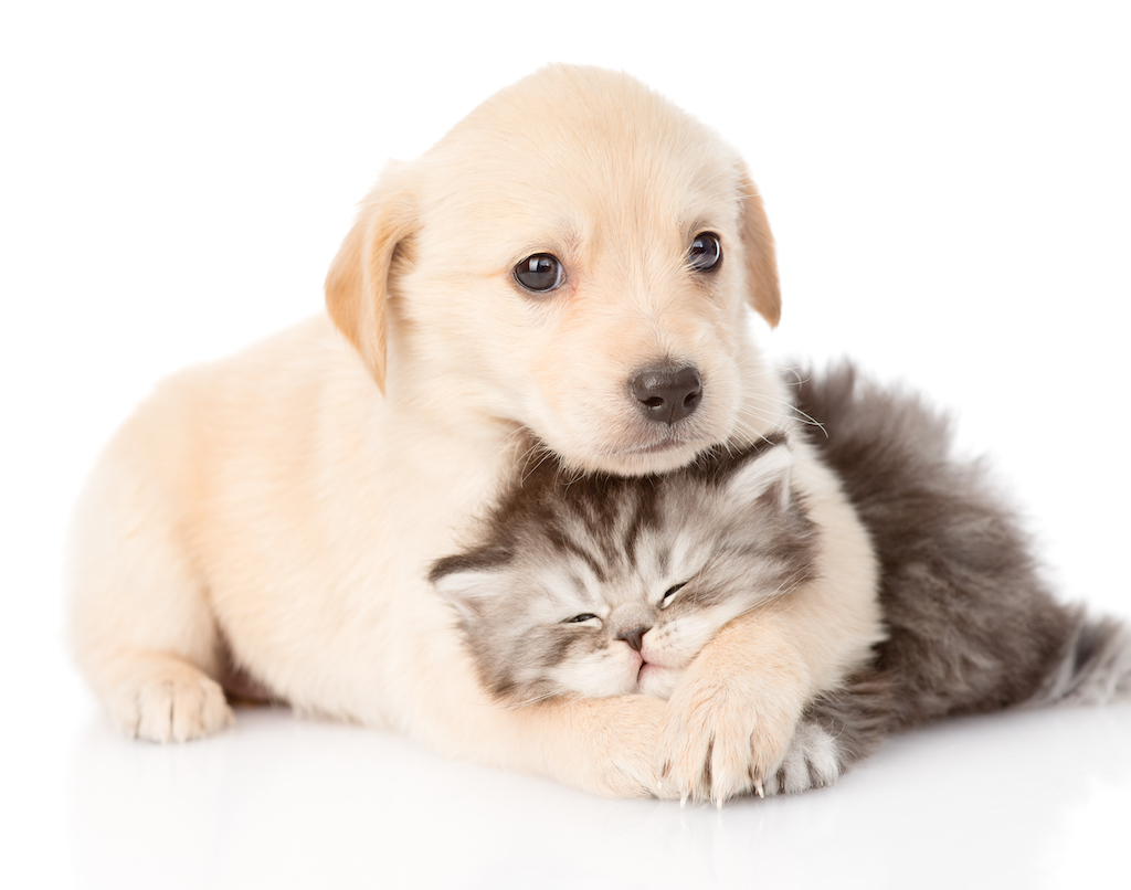 golden retriever kitten