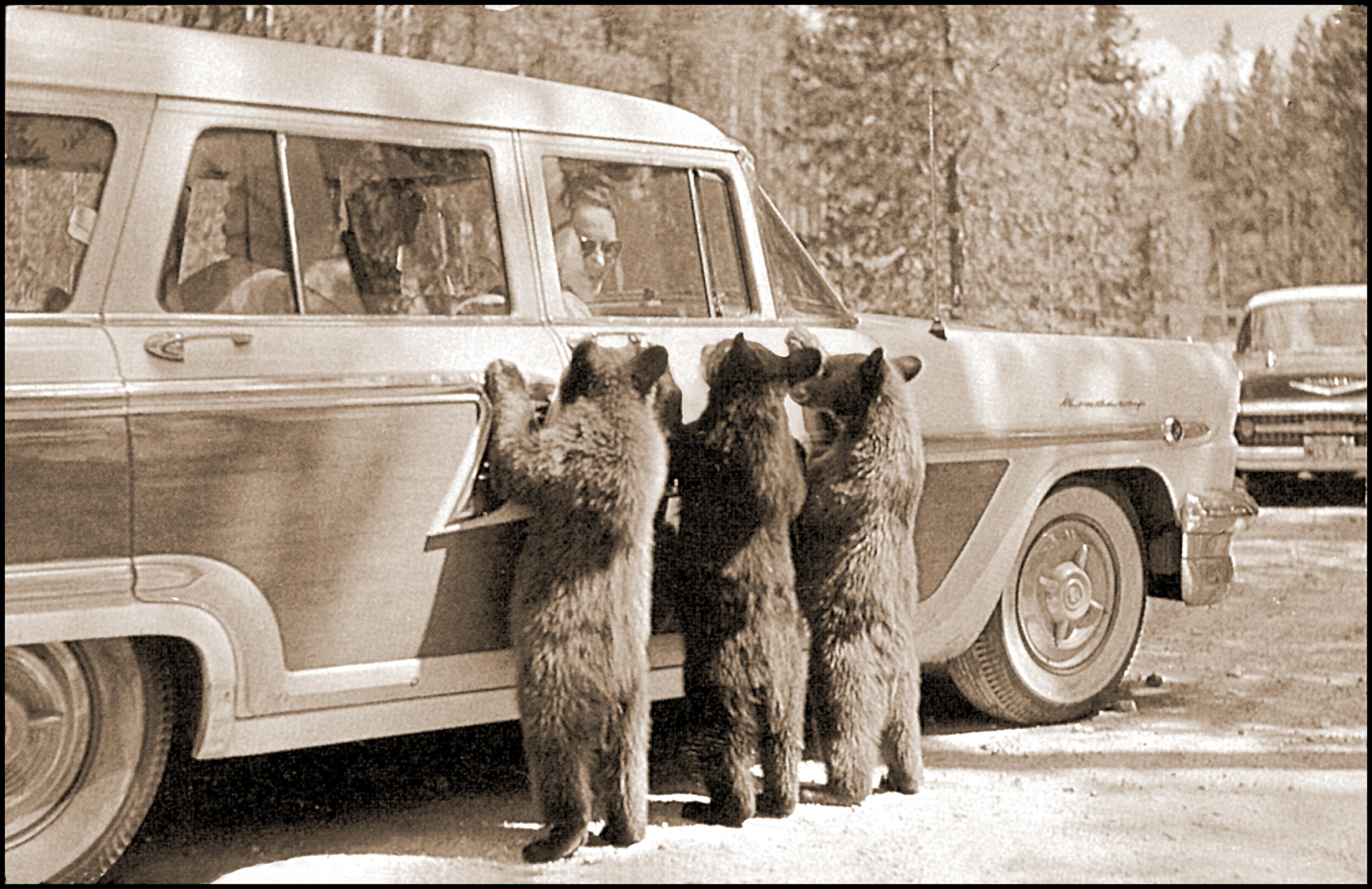 three bears lean against a vintage car
