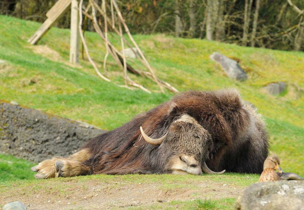 sleeping ox