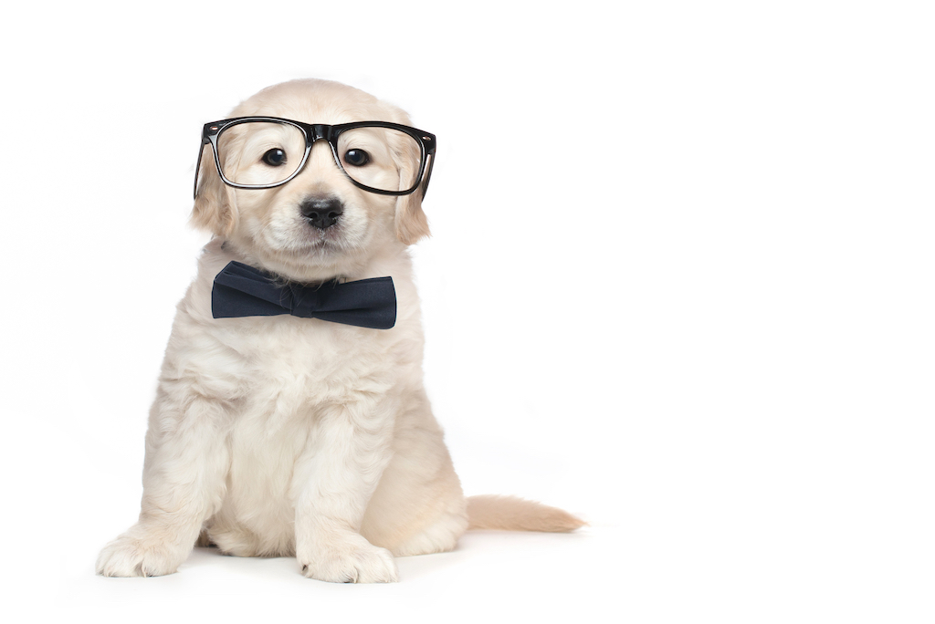 puppy-glasses-bow-tie
