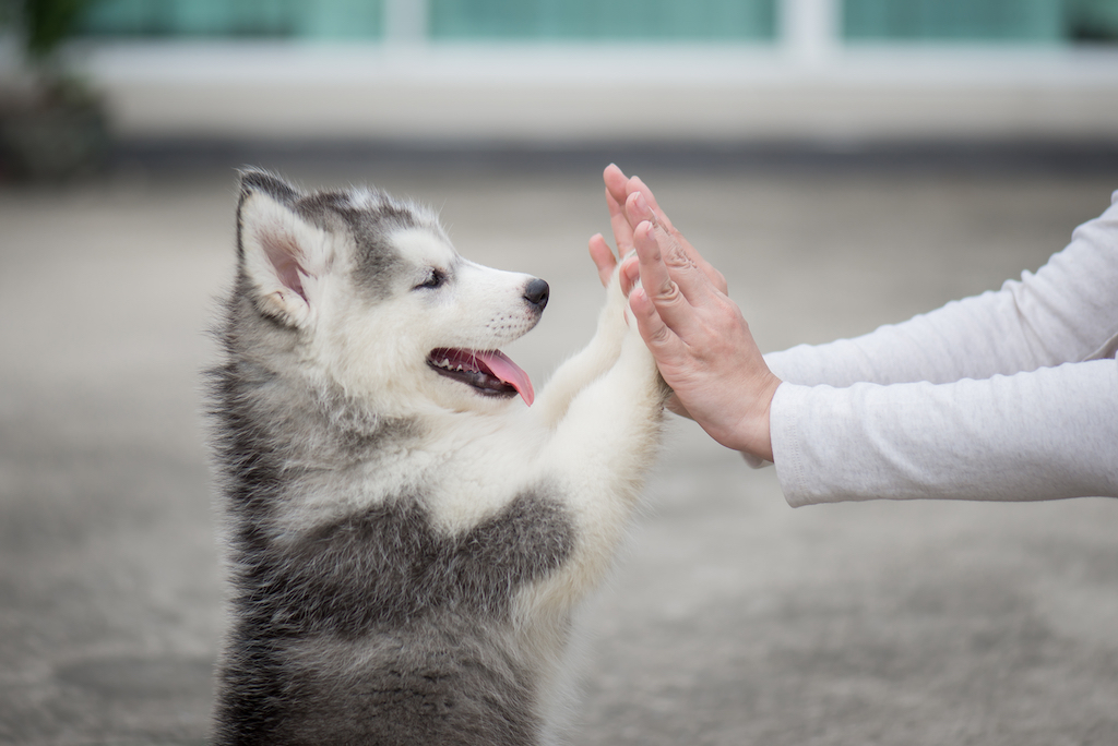 husbky puppy giving a high-five