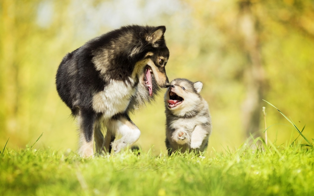 husky puppy with dad