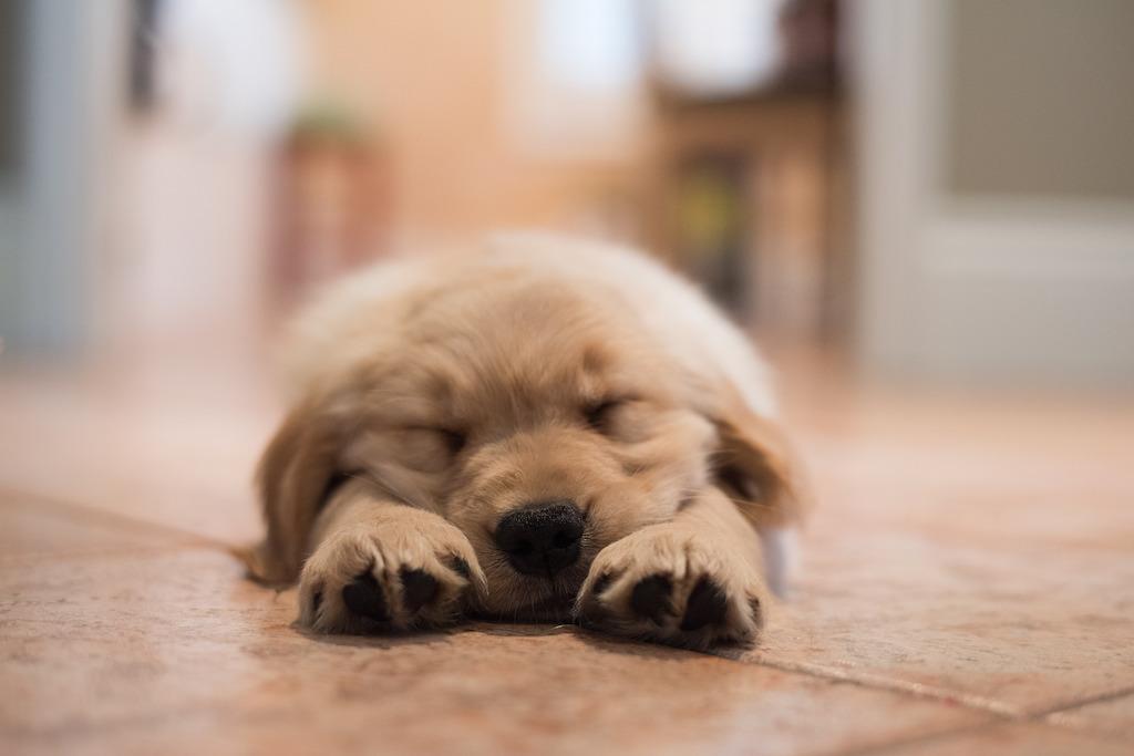 goldie-asleep