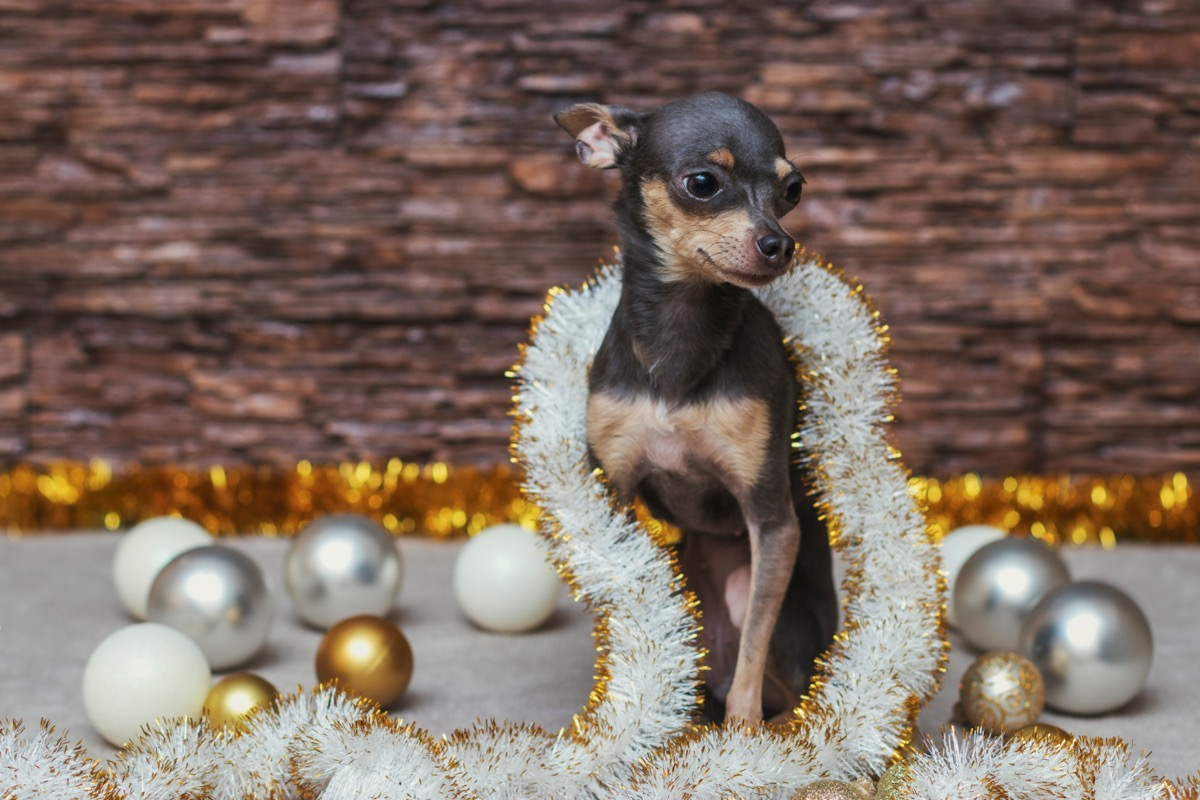 small dog in tinsel and christmas balls