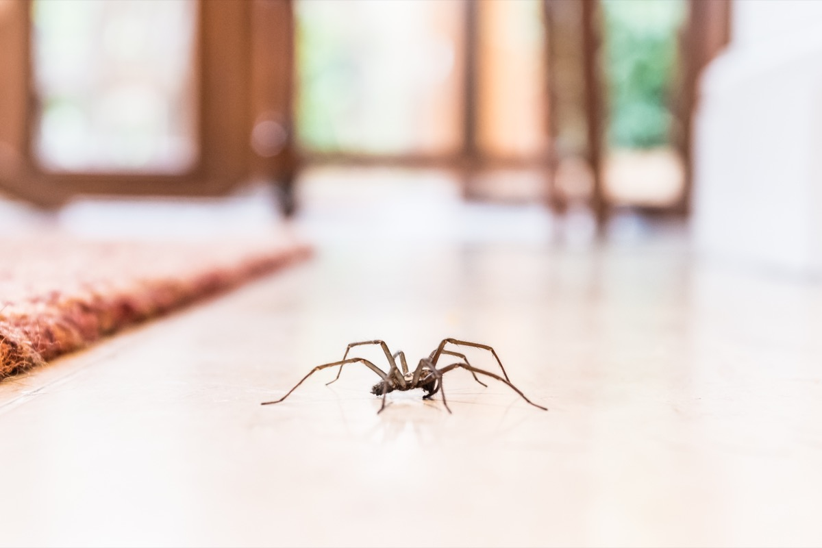 spider roaming around in the house