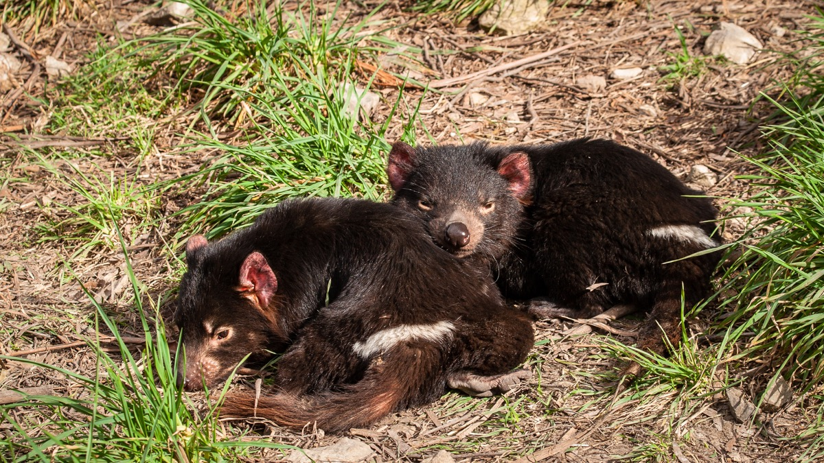 Baby tasmanian devils cuddling