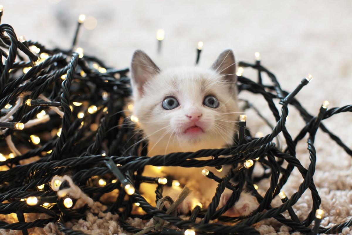 tiny kitten in christmas tree lights
