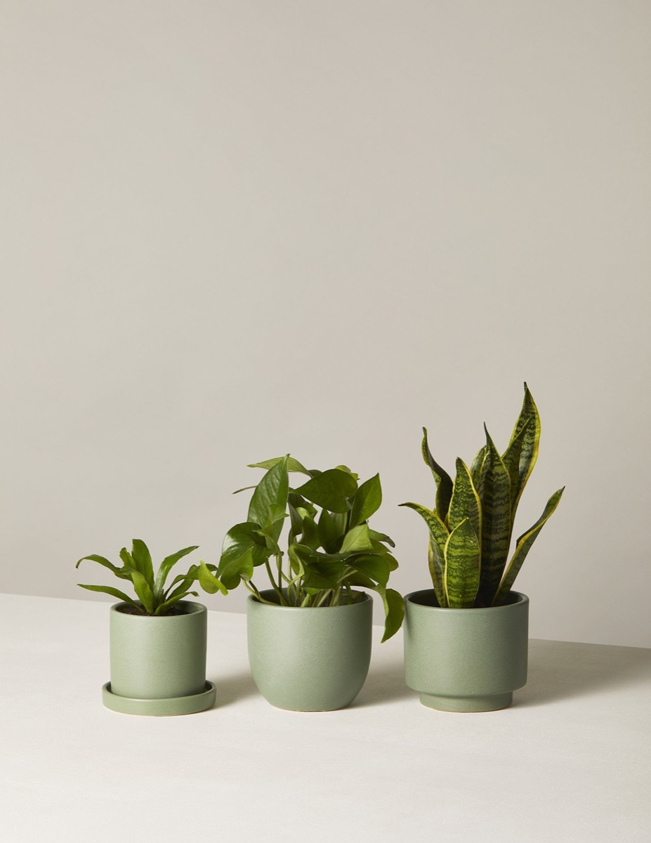 Three potted plants from The Sill
