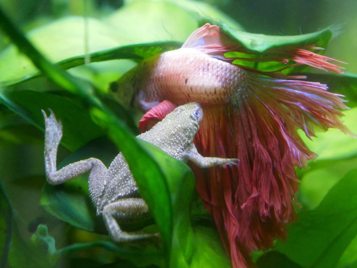 African dwarf frog and male beta fish