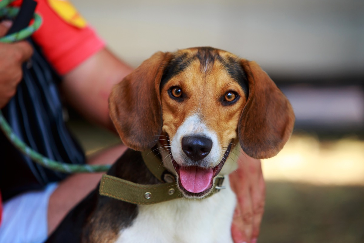 the dog breed American Foxhound a close-up