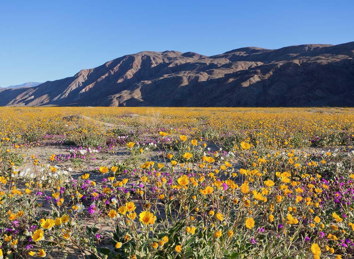 wildflower field in california
