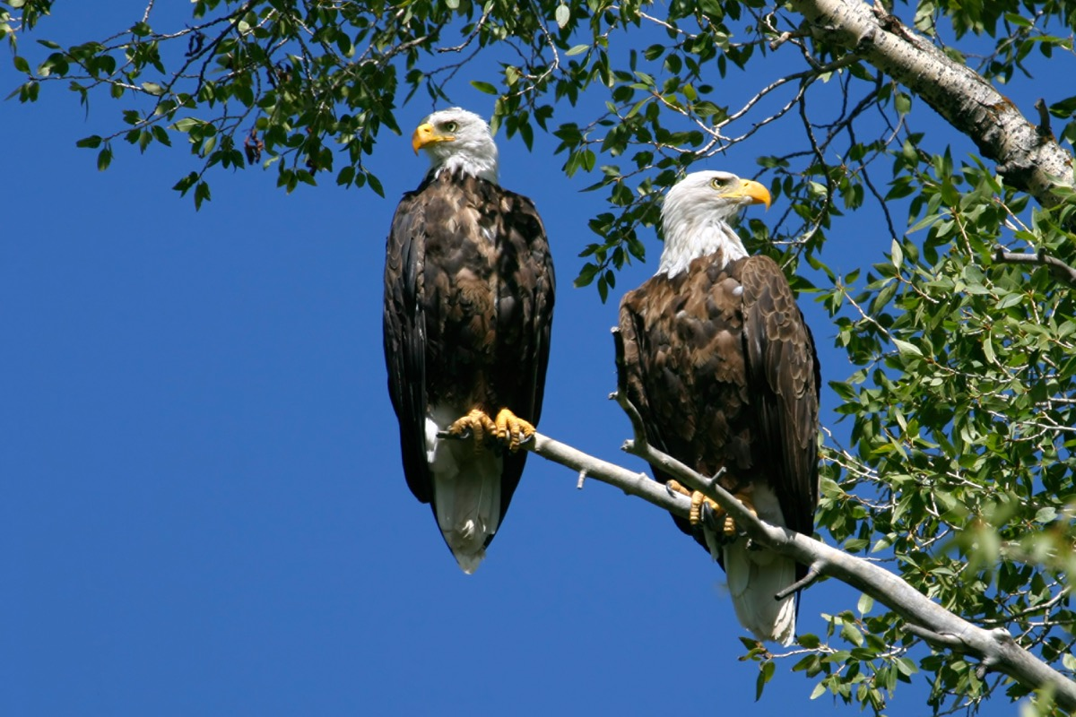 Bald eagles who mate for life