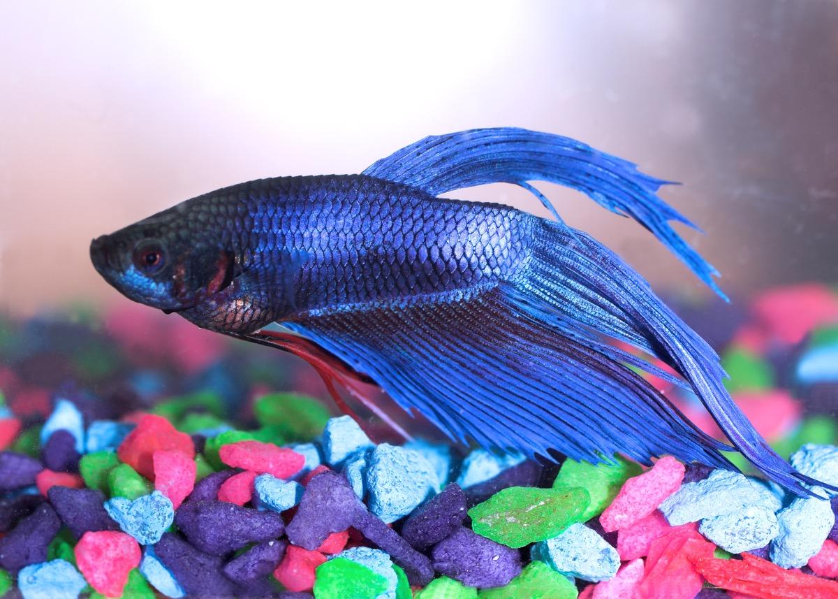 blue betta fish (also known as a siamese fighting fish) swimming over colourful aquarium gravel