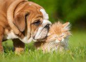 Bulldog puppy kissing his cat friend