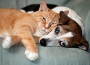 cat and dog laying on couch together