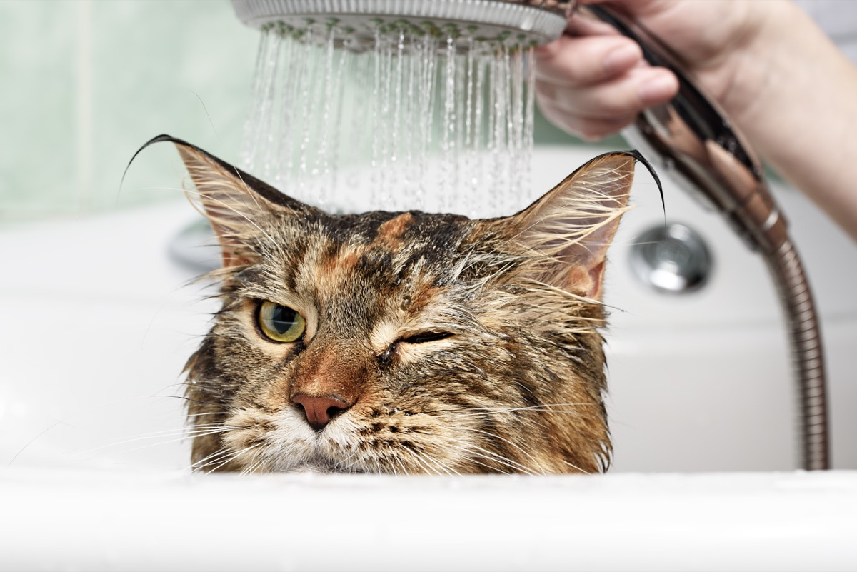 cat getting bathed