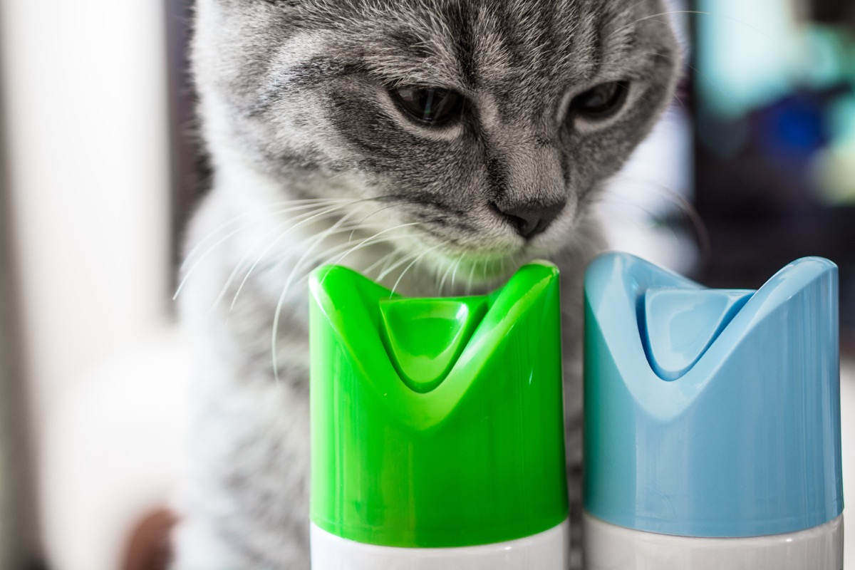 silver tabby sniffing air freshener