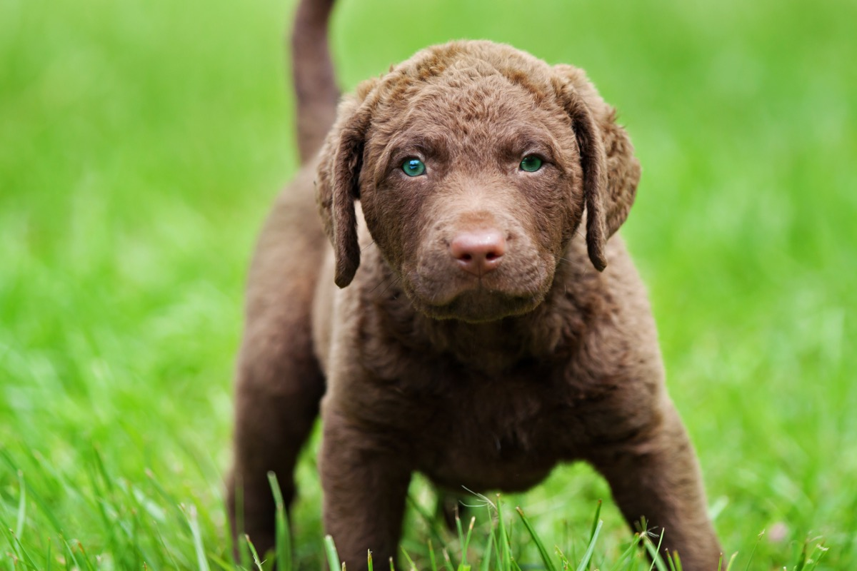 adorable Chesapeake Bay Retriever puppy with bright blue-green eyes standing in green grass.