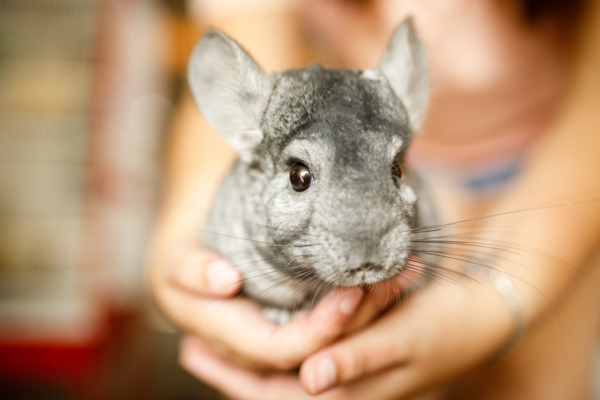 Chinchilla in the hands close up