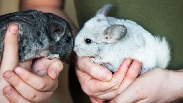 small white and grey chinchilla sits on the human hands