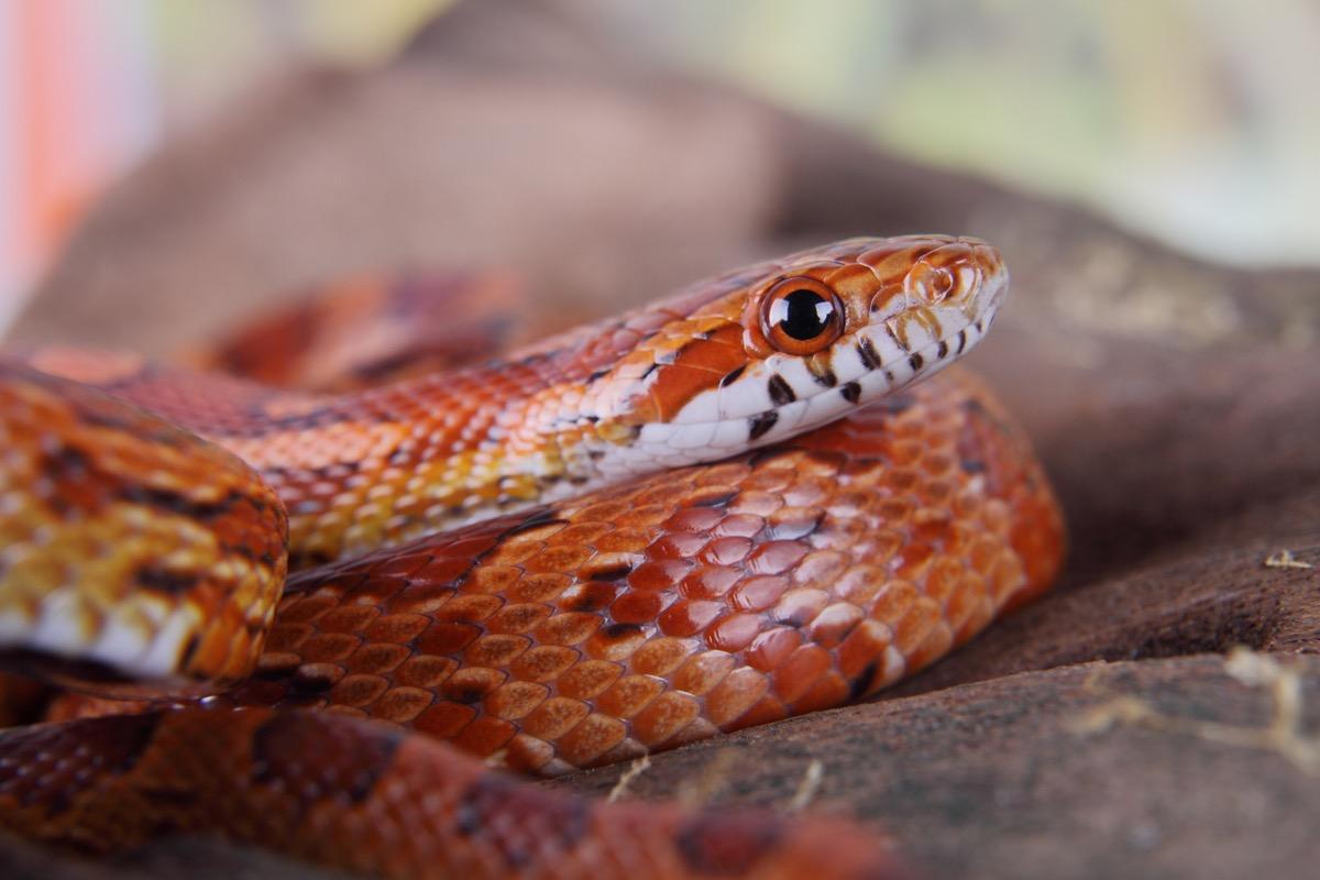 portrait of a beautiful corn snake
