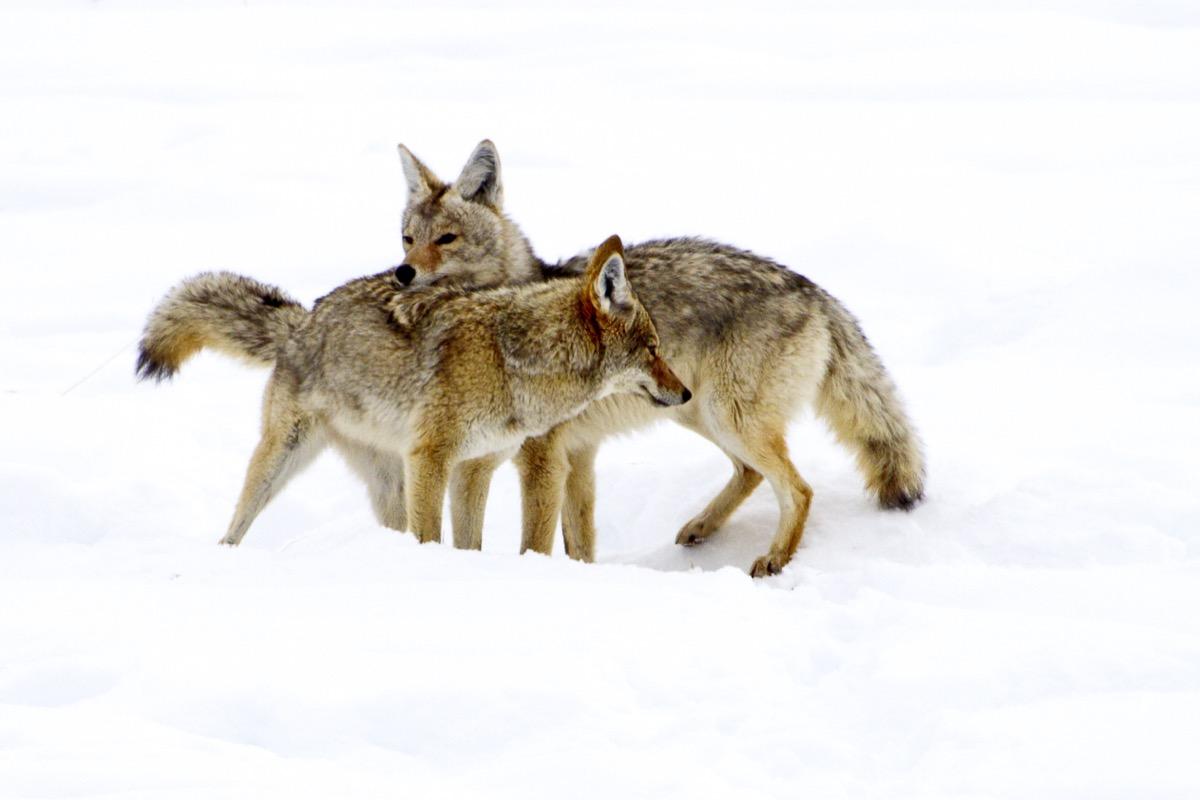 Coyote couple cuddling