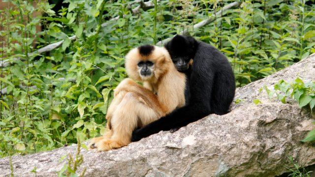 Cute gibbon ape couple cuddling on a branch