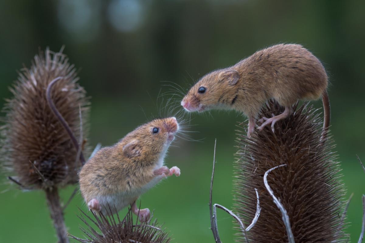 Pair of cute mice