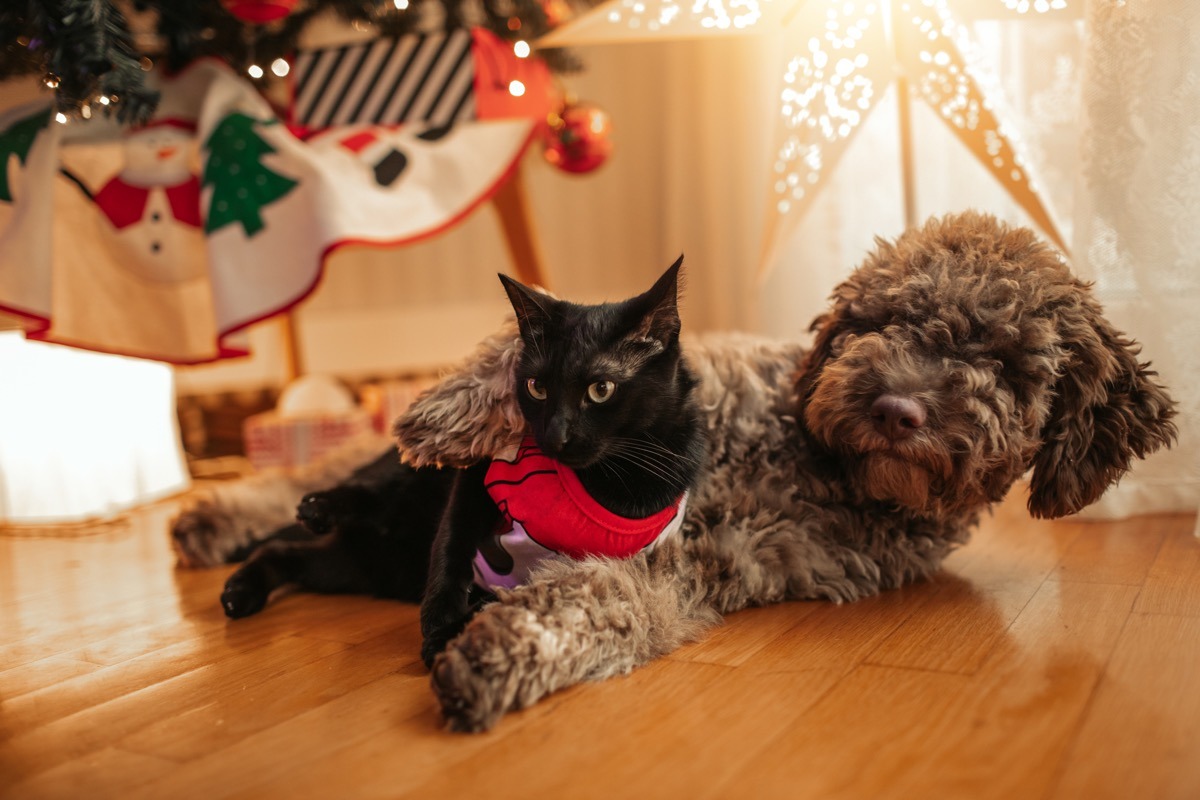 Lagotto Romagnolo puppy and black cat lying under the Christmas tree.