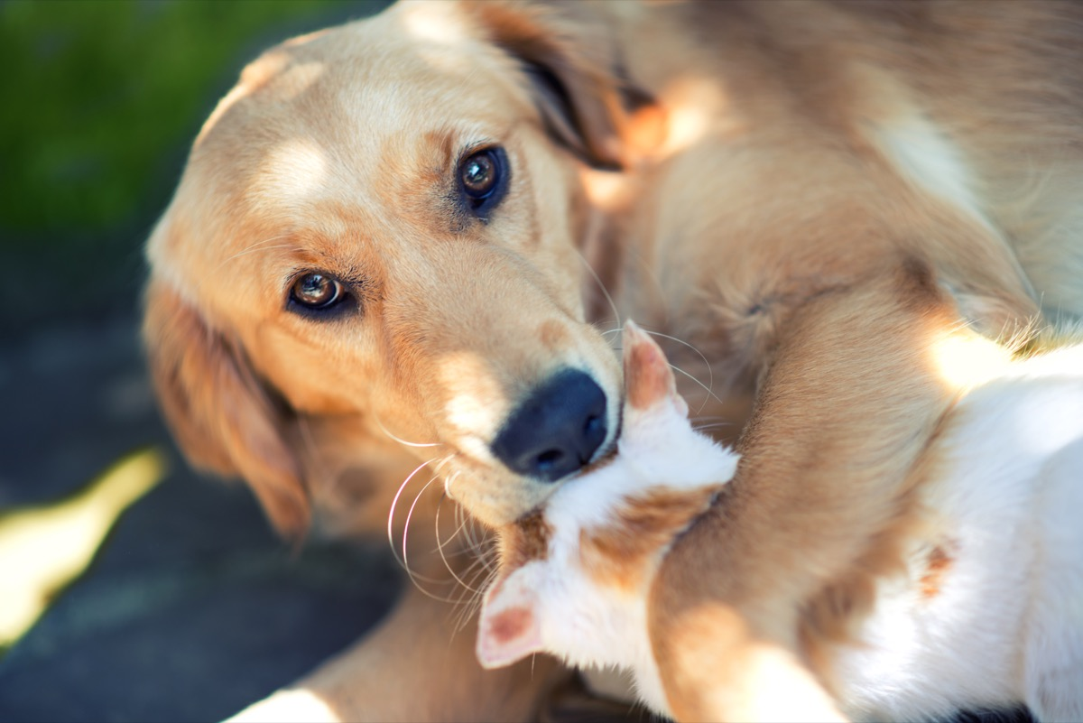 Domestic cat and golden retriever in grass at home. Best friends.