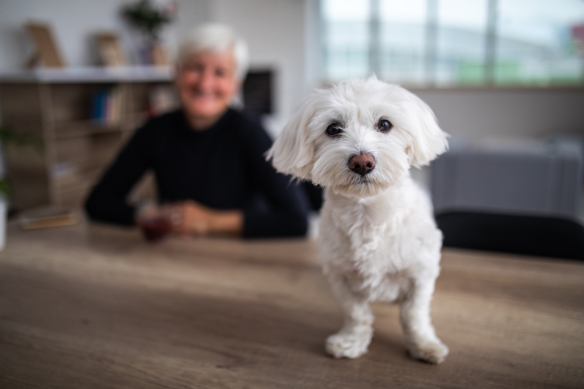 white fluffy dog sitting on the table and smiling at the camera