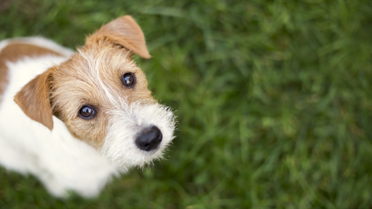 Jack Russell puppy looking up