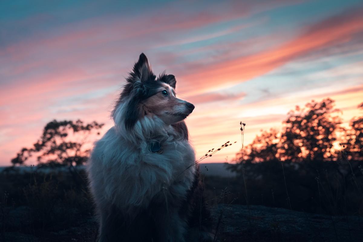 the summer sun sets over a shetland sheepdog in Harriman State Park, New York.