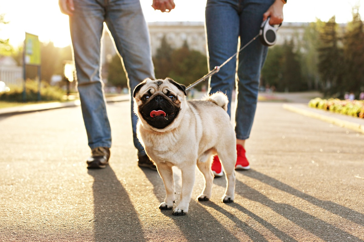 funny puppy of pug sitting on floor near couple owners feet on concrete walkway at park. Female & male walking young pure breed pedigree dog on leash, sunset light. Background, copy space, close up. (Funny puppy of pug sitting on floor near couple own