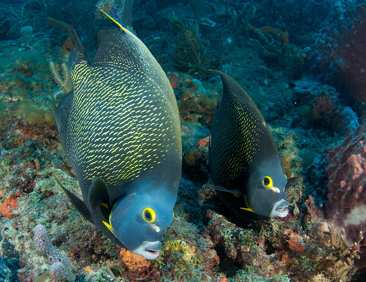 A French angelfish pair swimming in the ocean