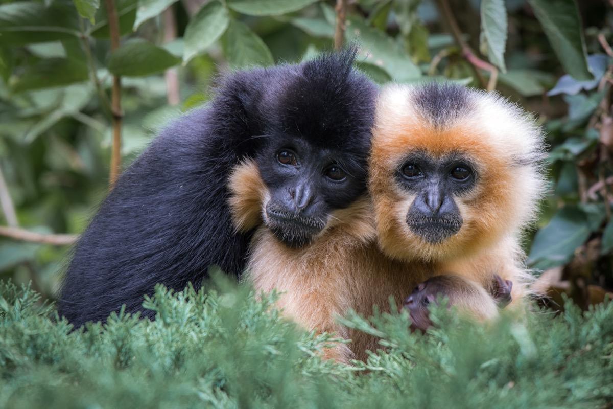 Cute gibbon animal couple