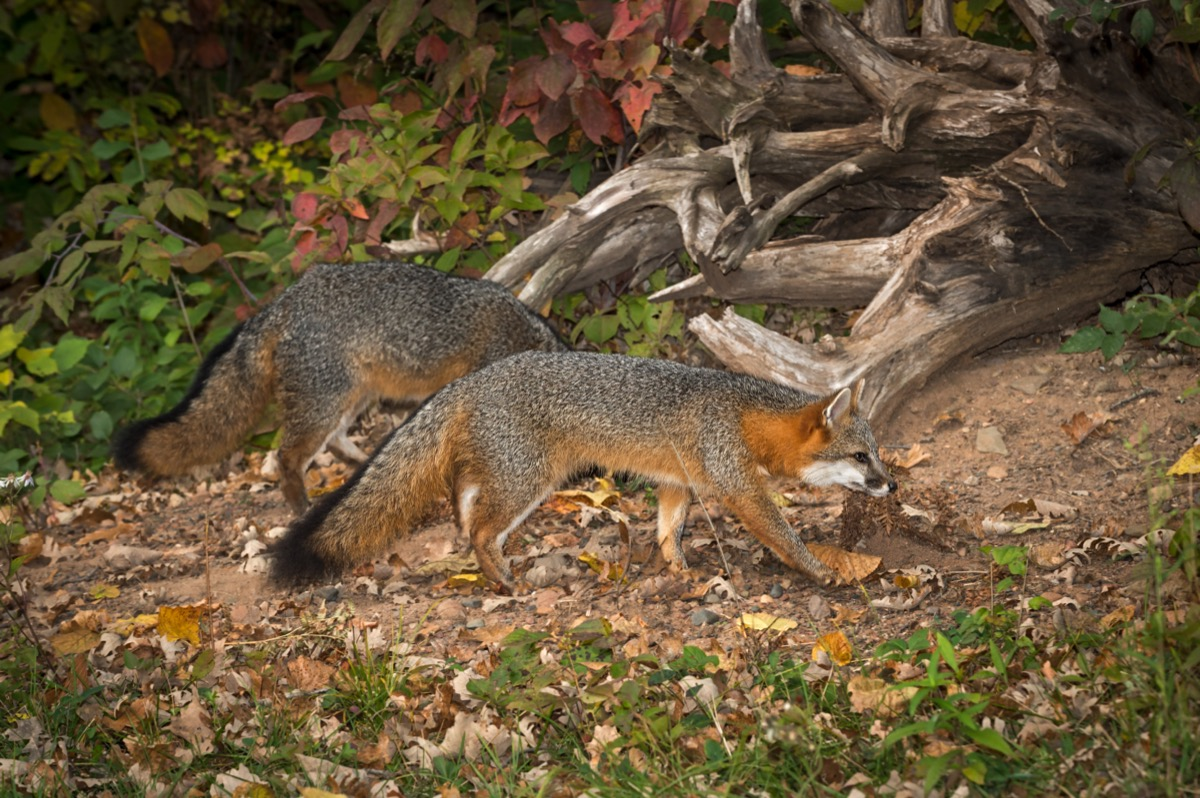 A pair of grey foxes in the wild
