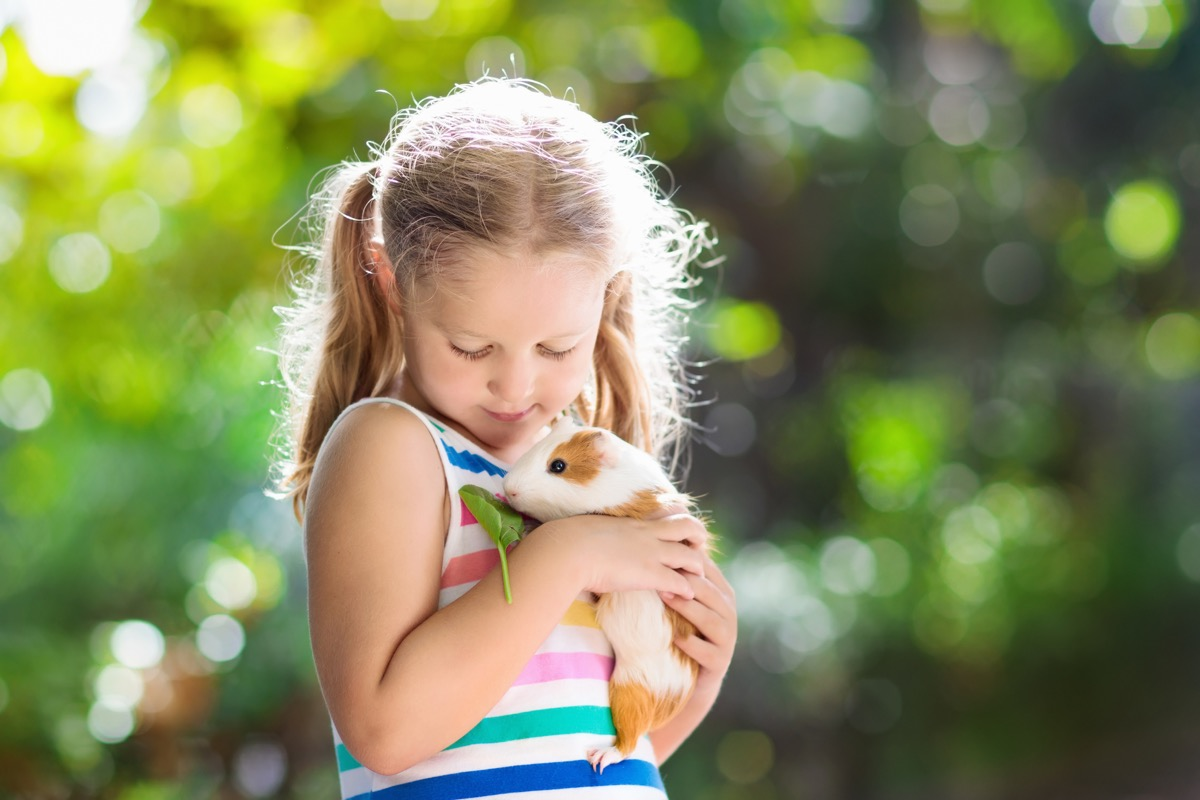 child playing with guinea pig. Kids feed cavy animals. Little girl holding and feeding domestic animal. Children take care of pets. Preschooler kid petting hamster. Pet rodents. Trip to zoo or farm. (Child playing with guinea pig. Kids feed cavy anima