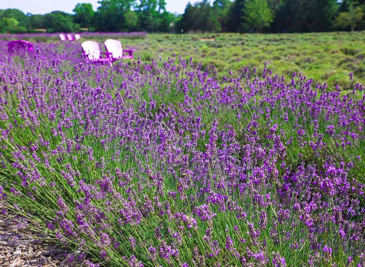 lavender fields with two chairs