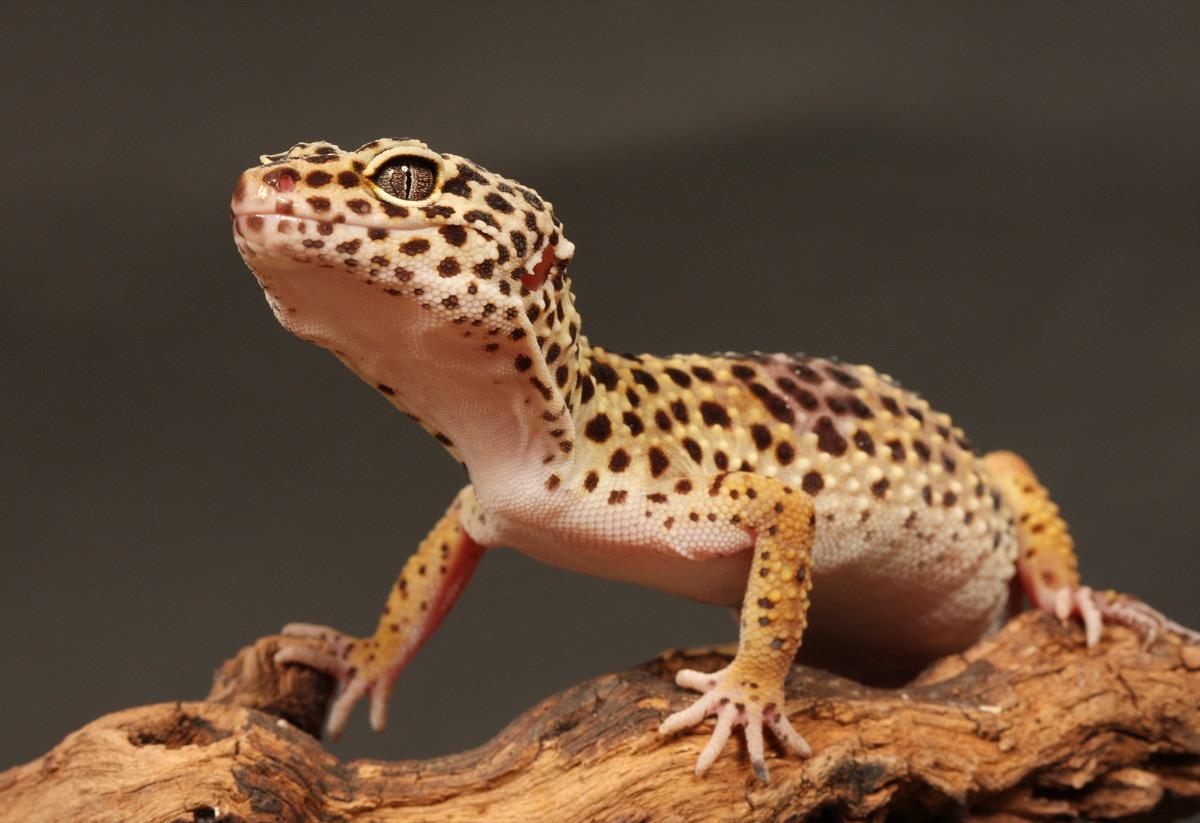 leopard gecko on a branch