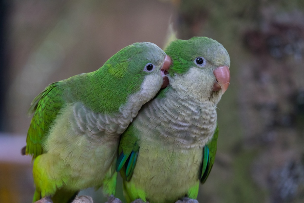 Two monk parakeets otherwise known as Quaker parrots
