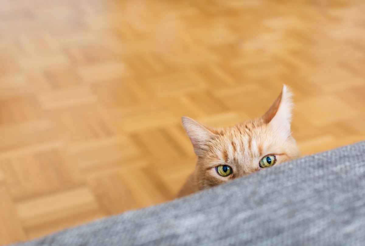 orange cat looking at gray couch