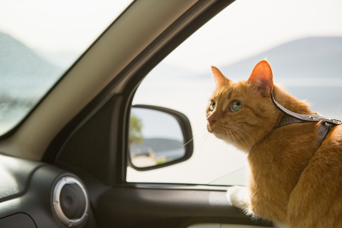 orange cat looking out window in car