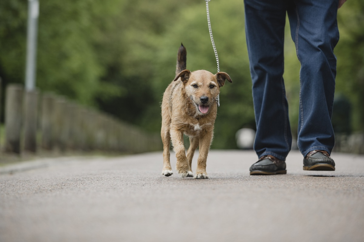 terrier dog is being walked on a leash in a public park by his senior owner.