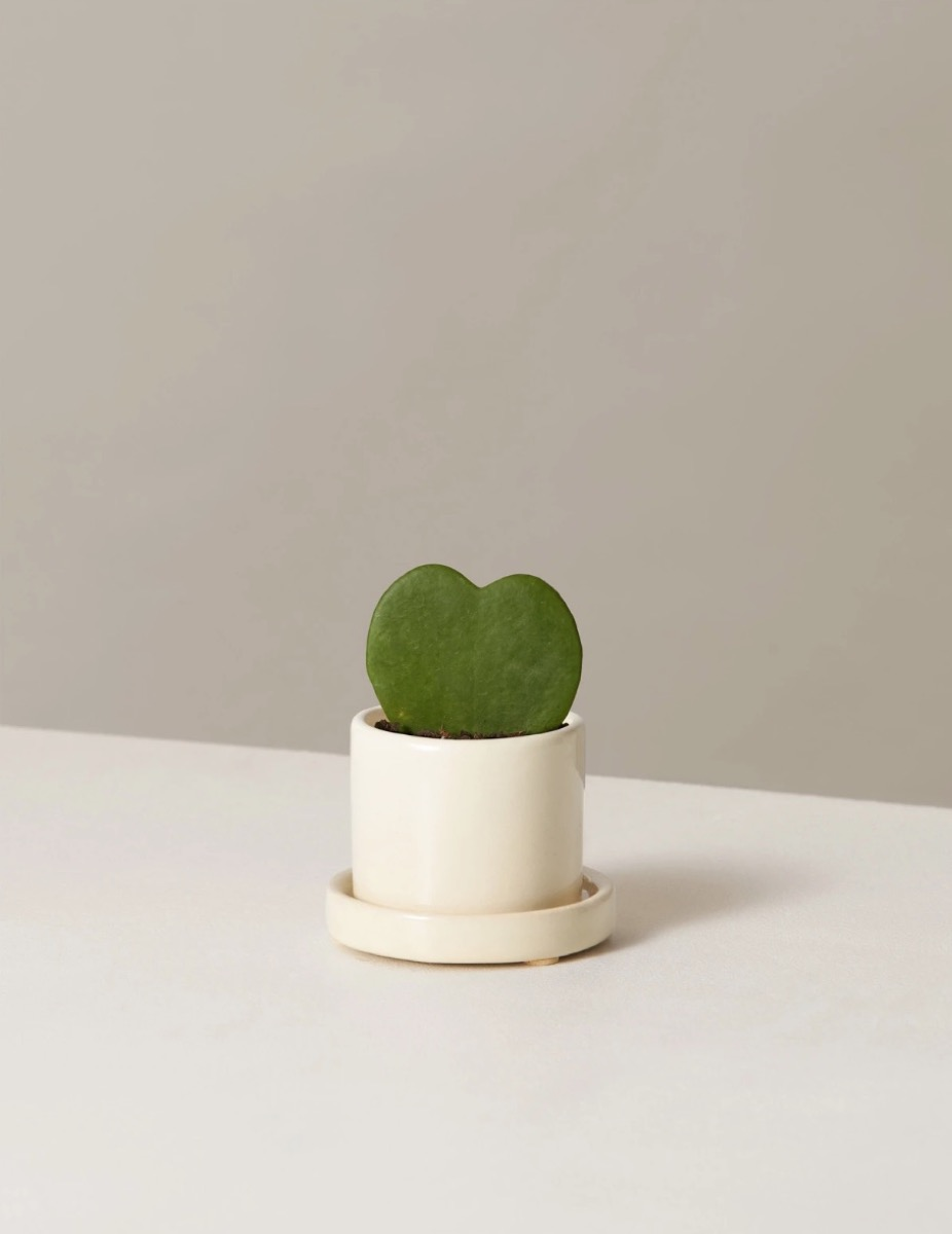 potted heart-shaped plant