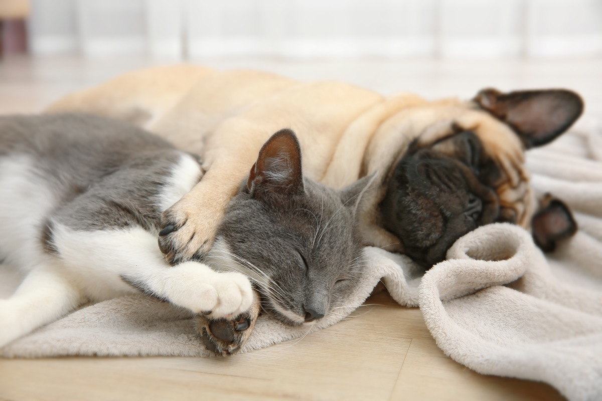 Pug dog cuddling with his cat sister