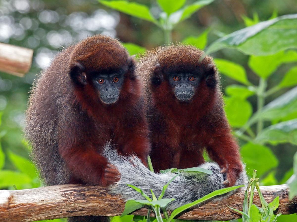 Red Titi monkeys on a tree branch